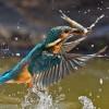 Alcedino pescando