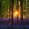 Jacinto de los bosques