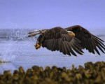 Águila calva pescando