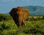Elefante en Kenya